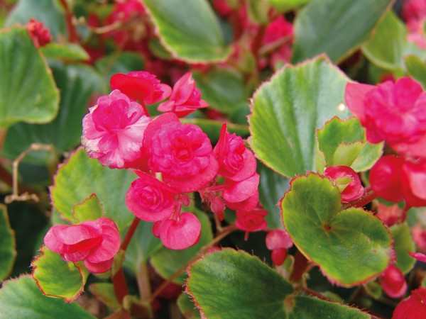 Begonia Paso Doble Red
