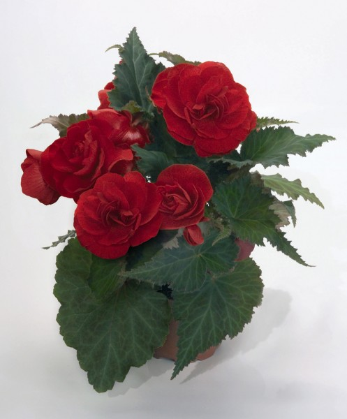 Begonia Nonstop Mocca Red