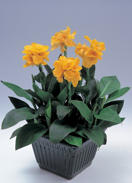 Canna indica Tropical Gelb