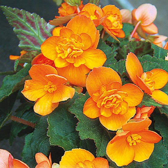 Begonia x multiflora Richard Galle